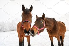 Curious horses on the snowy meadow by konstantin.tronin on @creativemarket