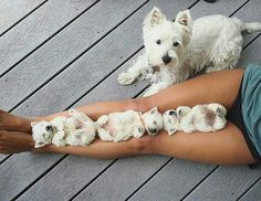 Se det här fotot av @dogspupsworld på Instagram •  #puppies #whitepuppies17.3 k gilla-markeringar