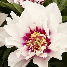 'Cora Louise' is especially vigorous, producing up to 50 blooms in a season (starting in late spring), once established. It grows to 2½ feet tall and 3½ feet wide. VIA @sunsetmag