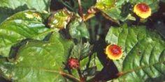 Jambú - Spilanthes oleracea