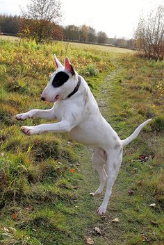 Bull Terrier jump))) #English #Bull #Terrier #Dog #Dogs #Terriers #Canine #Animal #Puppy #Sweet #Cute