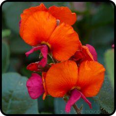 Chorizema 'Bush Flame' Flower Detail