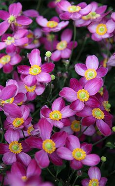 Buy Japanese anemone Anemone × hybrida ''Pretty Lady Susan' (Lady Series)' - Lights up the garden in late summer: Delivery by Crocus Herbaceous Perennials, Hardy Perennials, North Facing Garden, Japanese Anemone, Garden Plants, Garden Spaces, Family Garden, Ornamental Plants, Garden Projects
