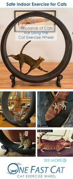 The Cat Exercise Wheel helps Bengal cats like Daenerys (pictured top) expend excess energy safely inside. Owners of Bengal cats will note what a godsend this is. ;) A happy side effect: your cat will get super toned and have an all-around cheery disposition once they're trained to run on this cat wheel.