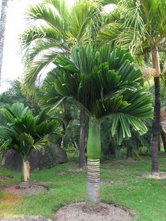 Areca catechu dwarf Tropical Garden Design, Tropical Backyard, Tropical Plants, Palm Trees Landscaping, Tropical Landscaping, Palm Tree Types, Palmiers, Deco Floral, Growing Tree