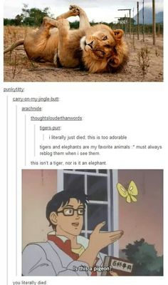 I find this super funny bc I wasn't paying attention and did catch that this wasn't a tiger until it was pointed out. Lol I need sleep. >> also point out how that old meme is being renewed into that new dank meme lol Cute Funny Animals, Funny Cute, The Funny, Hilarious, Dc Memes, Memes Humor, Funny Memes, Videos Funny, Animals And Pets