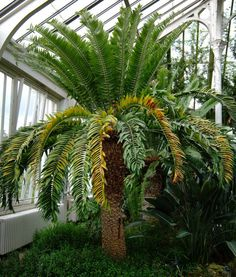 The 'loneliest organism' in the world: A single, lone cycad tree, the dominant tree during the dinosaur era, was discovered in Africa in 1895. They have yet to find a mate to pollinate it.