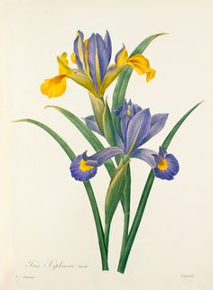 Colour engraving of Iris xiphium by P.J Redouté from 'Choix des plus belle fleurs' published in 1827. The publication contains 144 colour plates of flowers with some including insects and is dedicated to the princesses Louise and Marie d'Orléans. Creator: Redouté, Pierre Joseph (1759-1840). Date: 1827 Iris Flowers, Botanical Flowers, Botanical Art, Black Flowers, Vintage Botanical Prints, Botanical Drawings, Antique Illustration, Botanical Illustration, Art Floral