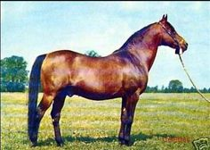 Celebes 1949-1978  Bred by Janów Podlaski, Poland. Sired 90 foals in Poland.