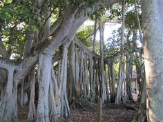 Banyan trees located at Edison and Ford Winter Estates in Ft. Myers Florida.  The single tree goes on and one growing from the branches down, rather than up.