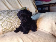 shih+poo+dogs   shih poo puppies £ 450 posted 11 months ago for sale dogs toy poodle ...