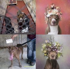 This long flowery photo-shoot has just reached its grand finale – Gamand gathered the pictures into Pit Bull Flower Power, a large coffee table book all about the beautiful Pits she photographed.