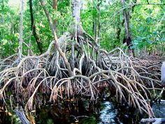 Red mangrove (Rhizophora mangle), Mexico