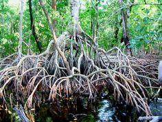 Red mangrove (Rhizophora mangle), Mexico