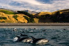 Kaikoura is known as New Zealand's top location for whales and dolphins....