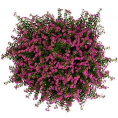 Cuphea FloriGlory Diana - 2018 AAS Flower Winner - Cuphea, commonly known as Mexican Heather, is an ideal plant for borders, mass plantings and containers. Garden Shrubs, Garden Landscaping, Summer Garden, Lawn And Garden, Plants For Planters, Heather Plant, Magenta Flowers, Border Plants, Annual Flowers
