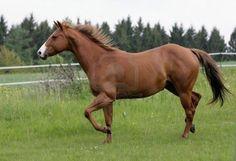 trotting American Quarterhorse