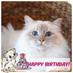 Its a special day today! Its Poppys 3rd birthday! hurray!!! #popcorn #poppylove #birma #birman #breeder #catsofinstagram #chokladochvanilj #pinkalicious #topcatphoto #happycatclub #welovecats #we_love_cats #excellent_cats #bestcats_oftheworld #bestmeow #birmavanner