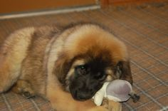 leonberger puppy-I know this baby !! Great breeders and she is mine !! :)