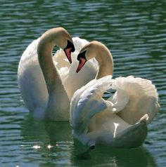 Page 51 of Desktop Wallpaper - Social Wallpapering Swan Love, Beautiful Swan, Beautiful Birds, Animals Beautiful, Swan Pictures, Animal Pictures, Animals And Pets, Baby Animals, Cute Animals