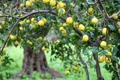 Citron Tree.