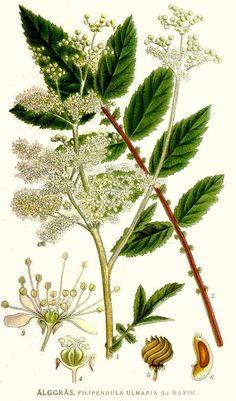 ULMARIA ( aspirina natural ): acciones anti-inflamatorias, analgésicas y febrífugas.