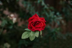 Red Rose Flowers Nature Background Wallpapers Natural Background