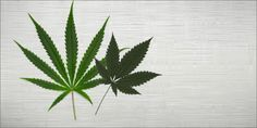 Are Indicas And Sativas Really That Different?...