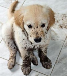Muddy Golden Retriever Puppy--- he knows he is in trouble. :')