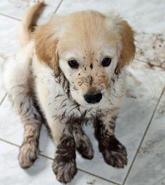 Muddy Golden Retriever Puppy