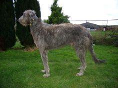 Jack Scottish Deerhound | by fortescue2