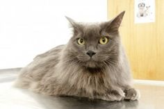 Mighty Maverick the fat cat didn't take too well to his new diet and exercise programme in the beginning of PDSA Pet Fit Club but he has since gone on to lose an impressive from his waist and shed of his bodyweight. Cat Health Care, Fit Club, Pet Insurance, Buy A Cat, Fat Cats, Health Advice, Healthy Relationships, Workout Programs