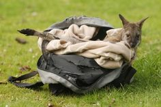 Baby wallaby in his makeshift pouch