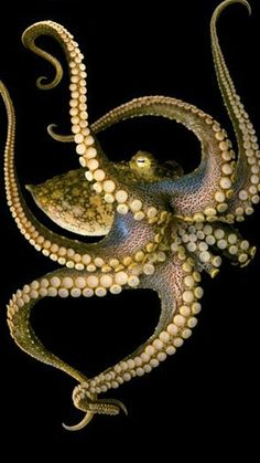 This is an AMAZING picture of an Octopus, look at the beauty this creat beholds. I love the movement of its tentacles :D