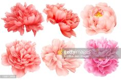 Stock Illustration : Chinese national flower peony