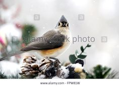 Download this stock image: Titmouse Bird - FPW81W from Alamy's library of millions of high resolution stock photos, illustrations and vectors.