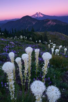 Brilliant wildflowers and Oregon's Mt Jefferson captured at dusk