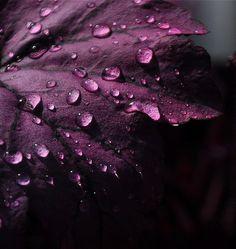 Droplets on purple aubergine petals Plum Color, Plum Purple, Purple Haze, Shades Of Purple, Deep Purple, Magenta, Pantone Violet, Color Combos, Color Schemes