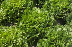 Cultivar escarola huerto en casa l EcoHortum