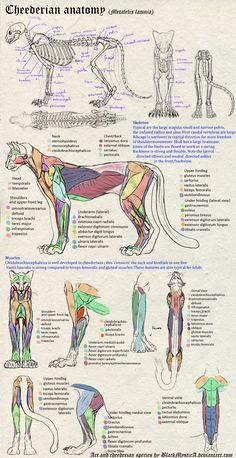 Cheederian anatomy by *BlackMysticA on deviantART