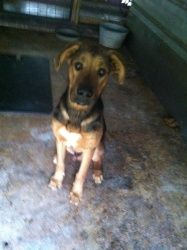 Topy is an adoptable Bloodhound Dog in Chipley, FL. This is 'topy' 1-2 years, unaltered, bloodhound/hound mix...