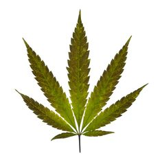 The Cannabis plant has thin, jagged leaves that branch into five to seven fingers.