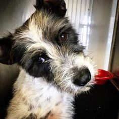Pictures of Starsky a male Fox Terrier (Wirehaired) for adoption at S.A.V.E. Rescue Coalition Santa Fe, TX who needs a loving home.