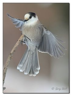 The Gray Jay  is a member of the crow and jay family (Corvidae) found in the boreal forests across North America north to the tree-line and in subalpine forests of the Rocky Mountains south to New Mexico and Arizona. These Jays store food and live year-round on permanent territories in coniferous forests.