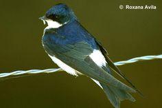 Golondrina chilena  AVES DE CHILE Nature Scenes, Literature, Spanish, Birds, World, Animals, Image, Flora, Google Search