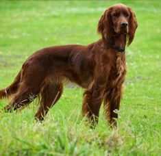 Katie - Red Setter | Flickr - Photo