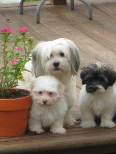 Just love Havanese puppies!