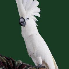 Le Cacatoès Blanc est une des espace que je préfère, j'adore leur tête, leur plumage et leur couleur blanche. #cacatoes
