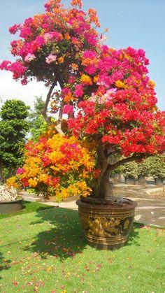 Bougainvillea Bonsai, Bonsai Plants, Bonsai Garden, Tropical Landscaping, Tropical Garden, Tropical Plants, Front Garden Landscape, Flower Landscape, Beautiful Flowers Garden