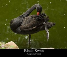 Black Swan by Chris Flees This is an image of a Black Swan (Cygnus atratus) grooming itself in a pond. This is the first black swan I have ever seen. If had posed in several different directions grooming itself while i was capturing images. This specific image was styled as a poster for a classroom.  This photograph and many others featured on Facebook: https://www.facebook.com/pages/Amazing-Art-and-Artists/755691297800619